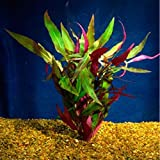 Bunched Scarlet Temple Live Aquarium Plants Alternanthera reineckii