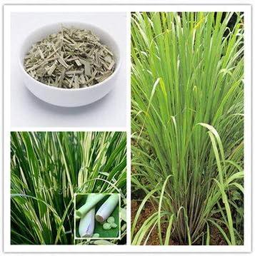 Bshopy Plantas de la Hierba 30pcs Semillas de la Hierba de limón casa bricojardín Aceite Esencial casera
