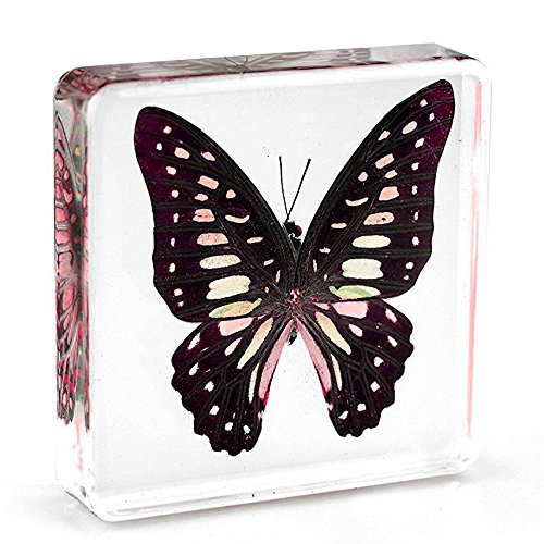 Graphium doson Butterfly Paperweight Specimen Paperweight for Science Education for book for office for desk(3″ x 3″ x 0.6″)