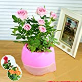 ChinaMarket Mini Rose Bonsai Miniature Rose Seeds Pink A Little Cute Plants 100 Pcs/Bag