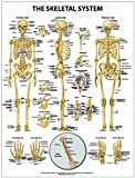 The Skeletal System Wall Chart - Paper, Inc. Shop Anatomical, 1942605013