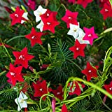 Outsidepride Cypress Vine Seed Mix - 100 Seeds