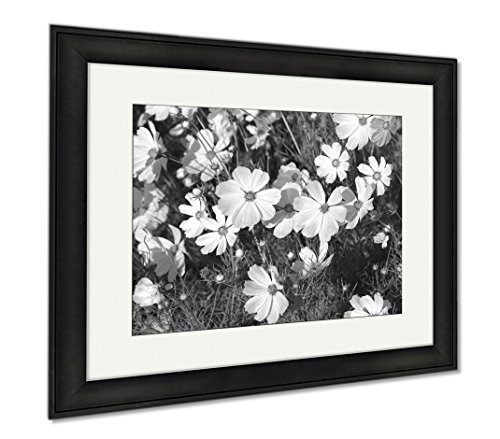 Ashley Framed Prints Cosmos Flowers Blooming In The Flower Garden, Wall Art Home Decoration, Black/White, 30x35 (frame size), Black Frame, (Cosmo Framed)