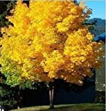 HOO PRODUCTS - 50seeds yellow maple tree live seed Home Garden Norway maple gold tree seeds good bonsai