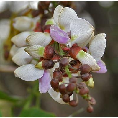 Millettia pinnata | Pongamia | Pongame Oiltree | Indian Beech | 5_Seeds : Garden & Outdoor