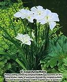 White Japanese Iris Mt Fuji - 1 plant - 3/4 fan plant