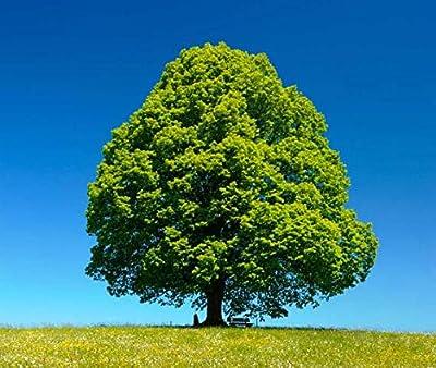 Littleleaf Linden Tree Seed, Beautiful Aromatic Flowering Shade Tree