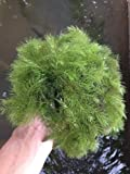 Hornwort (Ceratophyllum demersum) Great for outdoor ponds, water features, and even freshwater aquariums (2lb )
