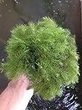 Hornwort (Ceratophyllum demersum) Great for outdoor ponds, water features, and even freshwater aquariums (1lb)