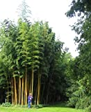 Fargesia fungosa bamboo seeds hardy clumping type garden decoration plant 50pcs