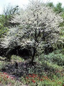 Dwarf Plum Tree 15 Seeds (Prunus umbellata) Fruit Tree