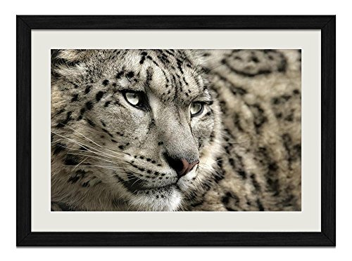 R.Maltto Snow leopard(A018) - Art Print Wall Hang Black Wood Frame Poster Framed Picture Home Decor(16x12inch)