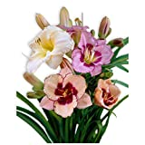 Daylily Bumper Crop Mix - 10 Bare Root Daylilies - Mixed Colors | Ships from Easy to Grow TM