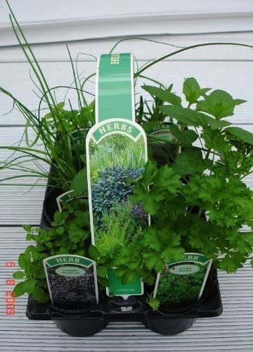 Mixed Herb Collection Available Now! Parsley Sage 4 x Full Plants in Pots Rosemary and Thyme