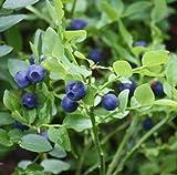 Vaccinium Myrtillus - 30 Seeds - Bilberry / Whinberry