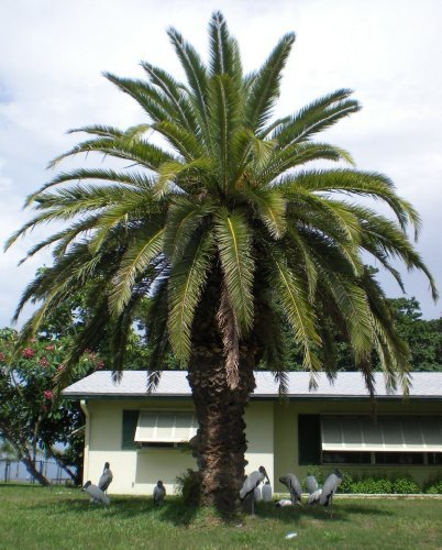 Seed and Things Canary Island Date Palm 15 Seeds Phoenix ()