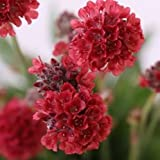 30+ RED ARMERIA FLOWER SEEDS / PERENNIAL / DEER RESISTANT