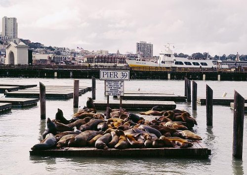 Photo: Sea lions at Pier 39,San Francisco,California,CA,Carol - 39 Pier California