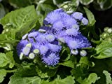 LAMINATED POSTER Blossom Blueme Bloom Ageratum Houstonianum Blue Poster