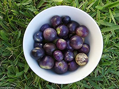 50 Milpero Purple Tomatillo Seeds Physalis philadelphica Jamberry Husk Tomato