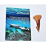 Onchopristis Sawfish Tooth Fossil (Medium) 100 Million Years Old #13500 3o