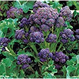 Organic Purple Peacock Broccoli 500 Seeds Upc 646263361849 + 1 Free Plant Marker