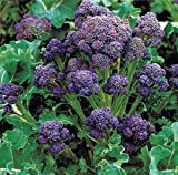 Organic Purple Peacock Broccoli 500 Seeds Upc 646263361849 + 1 Free Plant Marker