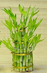 3 Tier Lucky Bamboo (Total +/- 38 Stalks) Comes Built with 4\