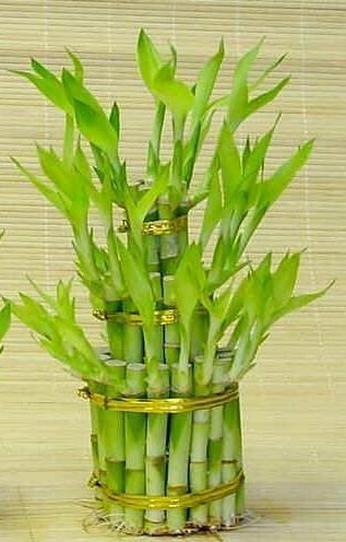 3-Tier-Lucky-Bamboo-Total-38-Stalks-Comes-Built-with-4-6-and-8-Lucky-Bamboo