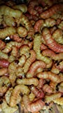 Bestbait Brand Butterworms, Butter Worms, Live Fishing Bait and Bird & Reptile Feed (250)