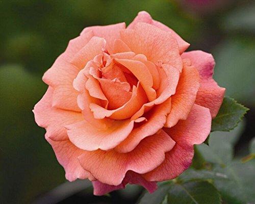 """""""Easy Does It"""" 3.5 Litre Bush Rose, Orange/Pink Blends Greenbrokers Limited 5028320935975"""