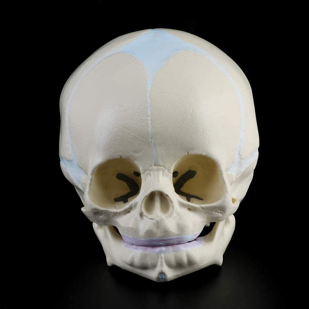 Human Fetal Baby Skull Model 1 Infant Medical Skull Anatomical Skeleton Teaching Model 4D 1
