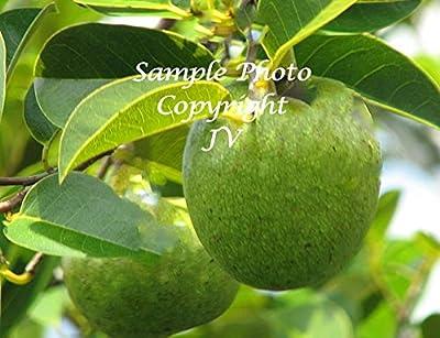 Pond Apple 8 Seeds Yellow Fragrant Flowers Tropical Houseplant or Standard Gardening Honeydew Melon Taste Annona glabra