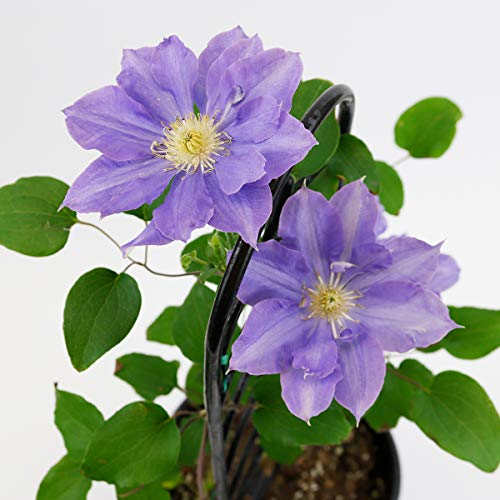 Burpee Perennial Clematis 'H. F. Young' Live Plant in a 6'' pot, True Blue Flowers, One Plant by Burpee (Image #1)