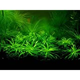 Aquarium plant seeds Water Grasses Random Aquatic Plant Grass Seeds Indoor Beautifying Plant Seeds