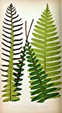 historic pictoric Ferns: British and Exotic V.4London,Groombridge and Sons,1856-60. | Ferns Taxonomy:Binomial=Blechnum discolor SIL | Vintage Print Reproduction 492065