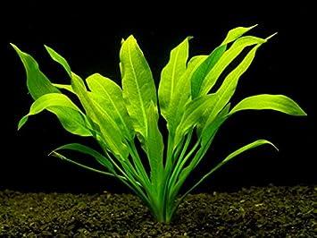 10 x Acuario Plantas vivos Amazon espada - Echinodorus Bleheri - Tanque de peces espadas plantas: Amazon.es: Productos para mascotas