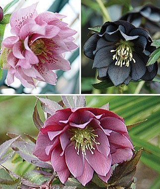 100pcs/lots wholesale Hellebore, Double Spring Collection flower (Hellebore Plant)
