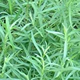 Outsidepride Tarragon - 5000 Seeds
