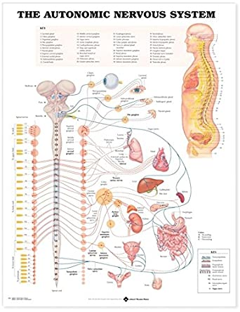 nervous chart: Amazon com the autonomic nervous system anatomical chart