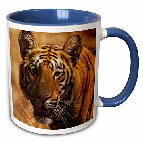 - 3dRose Danita Delimont - Tigers - Royal Bengal Tiger, a close up, Tadoba Andheri Tiger Reserve - 15oz Two-Tone Blue Mug (mug_225612_11)
