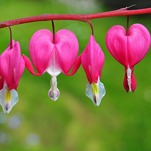 Bleeding Hearts Pink Dicentra - 1 Bare Root Plant - 5/8 Eye Bare Root Plant