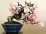 Prunus-serrulata-JAPANESE-FLOWERING-CHERRY-35-SEEDS-Bonsai-Ornamental-Sakura Prunus-serrulata-JAPANESE-FLOWERING-CHERRY-35-SEEDS-Bonsai-Ornamental-Sakura Prunus-serrulata-JAPANESE-FLOWERING-CHERRY-