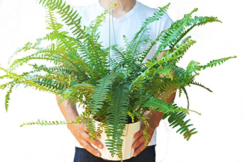 Jester Trees - Jester's Crown Fern - Live Plant - FREE Care Guide - 6