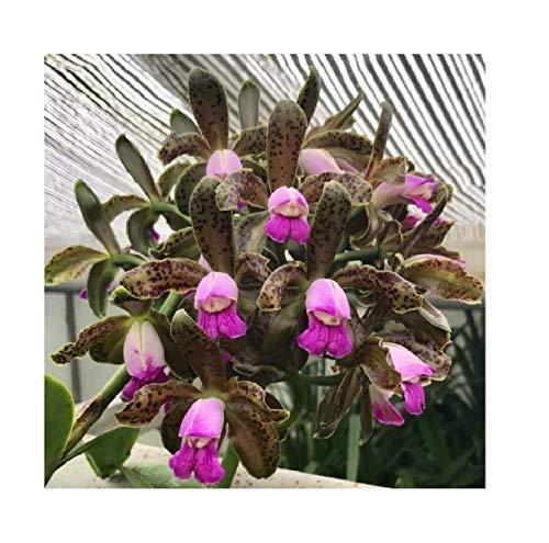 1x Frisch Cattleya leopoldii Orchidee Topf Pflanze Zimmer Winter Garten L162