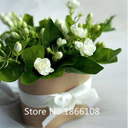 home & garden Free shipping 50 pieces white jasmine Seeds, fragrant plant arabian jasmine flower -