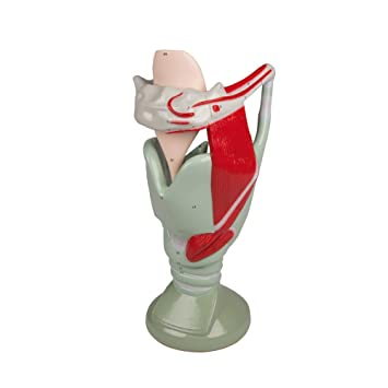 Functional Larynx Model Anatomy Model Larynx with Tongue Leg Movable ...