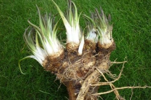 Very Old Variety of a Heirloom Horseradish Roots for planting (Mulch Starter Compost)
