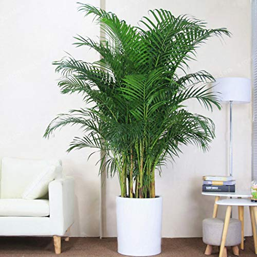 Caiuet 5pcs Bamboo Palm Tree Seeds Garden Seeds Tropical Beauty for Both Indoor and Outdoor