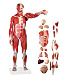 Wellden Product Anatomical Human Muscular Figure Model, 27-part, 1/2 Life Size, Numbered
